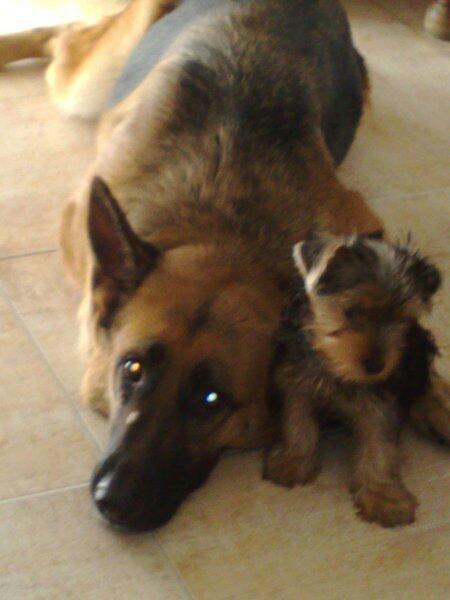 Ángela nos envía dos perros CON raza, pero haremos la vista gorda porque no somos racistas: Luna es el pastor alemán y Gigino, que significa Luisito en italiano, el yorkshire.